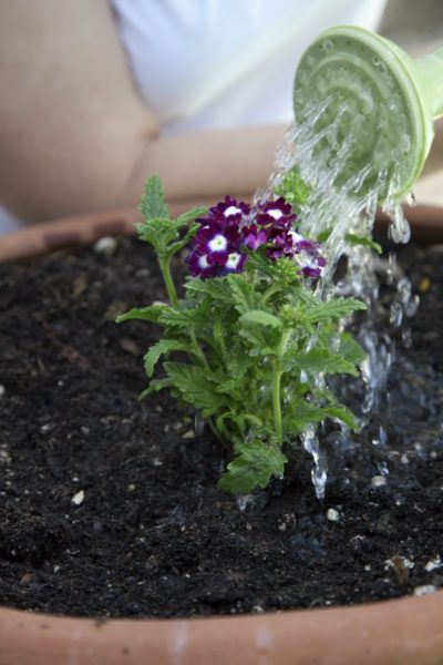 Lantana plant watering how much water do lantana plants need gardens we and the o 39 jays - Plants that dont need soil natures wonders ...
