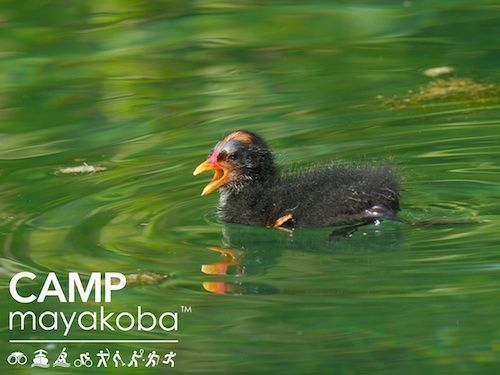 """We spotted this adorable moorhen chick swimming right in its mothers wake… You can almost hear the baby bird saying, """"Mum! Are we there yet?"""" #WildernessWednesday #CAMPmayakoba"""