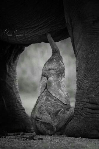 Ross Couper Photography. This young elephant calf was deserted and adopted by another female elephant. | Every time you pin, share, tweet from IvoryForElephants we gain media $$$ toward helping save their future. #stoppoaching #elephants and #rhinos #ivoryforelephants #elephantbabies #babyanimals #cute #ivory #rhinohorn #extinction