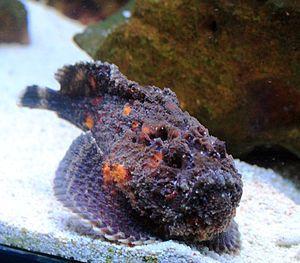 The stonefish, de steenvis (Synanceia verrucosa), has venomous spines on its back. De steenvis heeft giftige stekels op zijn rug. Het gif veroorzaakt zeer hevige pijn. Je kan in shock raken of deels verlamd