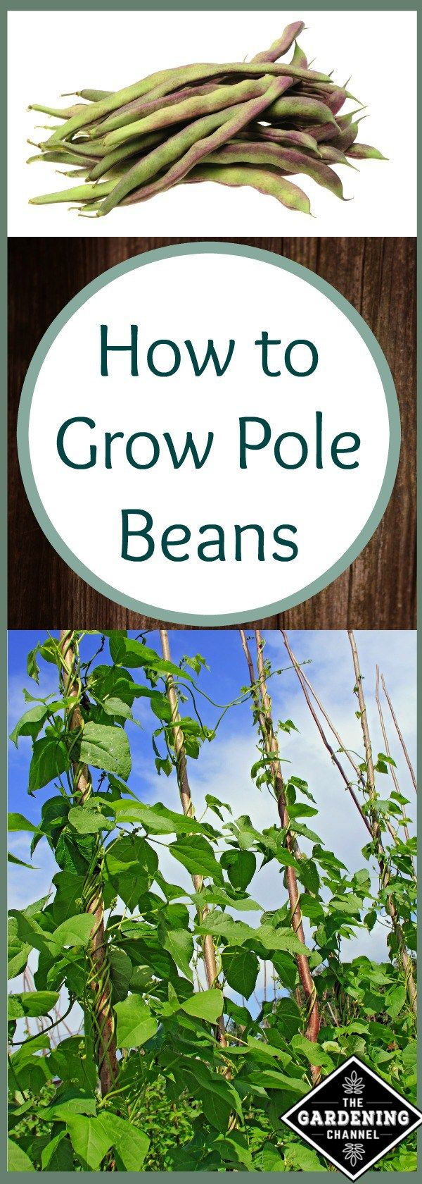 Growing pole beans is a great way to increase the harvest in your garden without using a lot of space.  Try planting these with a trellis or pole.
