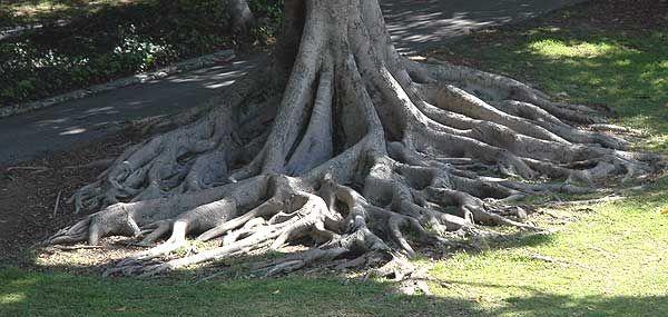 Magnolia grandiflora, root structure, photo Thursday, March 16, 2006
