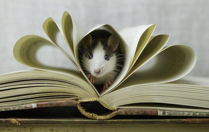 Rat de bibliothèque ...