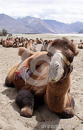 Close-up shot of a Bactrian camel, relaxing in Nubra Valley, Ladakh.