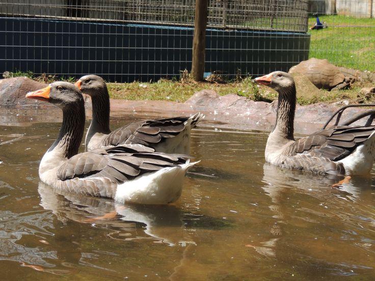 Geese enjoying their new pond