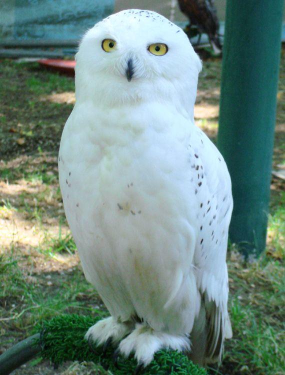 A coruja-das-neves (Nyctea scandiacus) é uma espécie de ave estrigiforme pertencente à família Strigidae