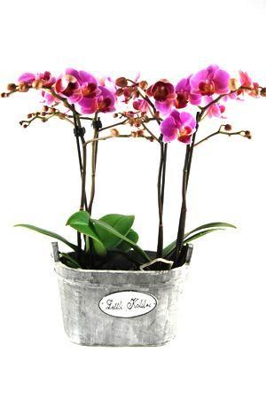 Orchidee Phalaenopsis Luzern in Wooden Oval. Gezellig houten hengselbakje met opschrift 'Little Kolibri'. Bakje met 4 takken en minimaal 35 knoppen.