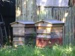 Cultivate Bees in your garden for pollination