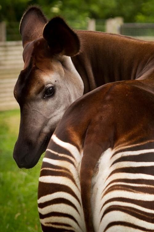 Okapi Antelope Creatures Large And Small Pinterest Okapi