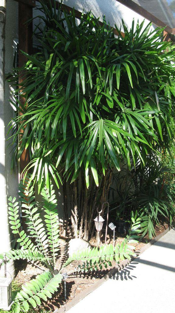 Chamaedorea radicalis   Hardy Parlour Palm