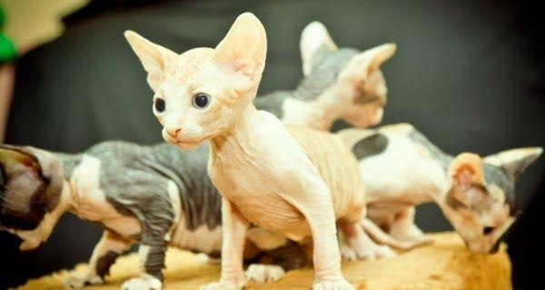 Sphynx: A exótica raça de gato sem pêlos