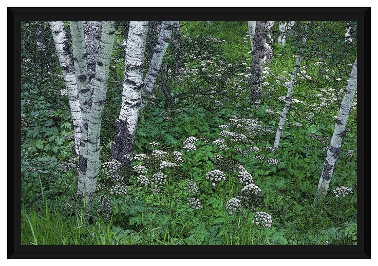 "Framed Canvas - ""Aspen & Cow's Parsnip"" 16x24"