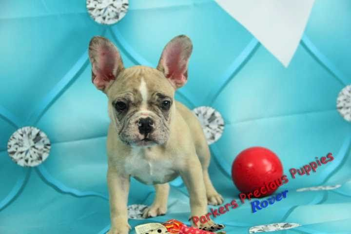 Akc French Bulldog Puppy Wral Com French Bulldog Frenchie Puppies