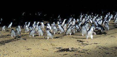 Penguin Parade, Philip Island, Australia