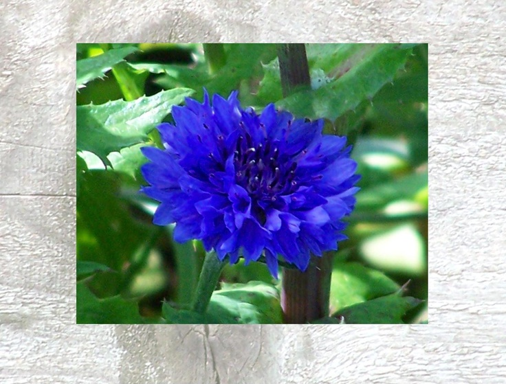 Calendar pix - September 2013 The only other plant that rivals this cornflower blue is delphiniums.