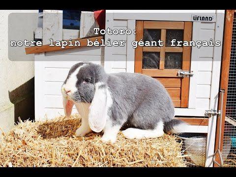 Totoro, notre lapin bélier géant français (vidéo)