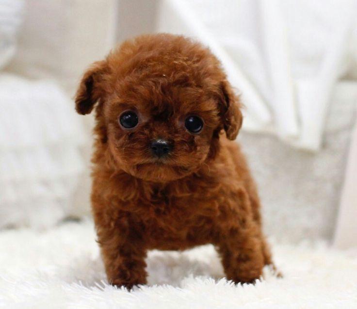 Cece – Micro Poodle Female