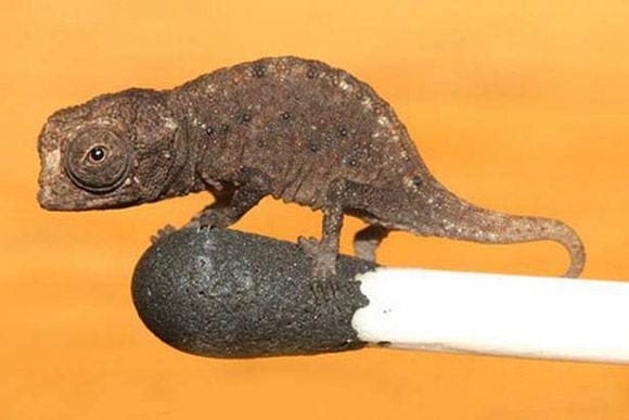 Smallest chameleon