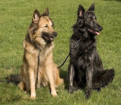 Dutch Shepherds - Aura (Aurelia - 7.5 years old) & Mira (Kyara Hasse v.d. Dorestee - almost 1 year old). Courtesy of Heleen Klinkenberg.