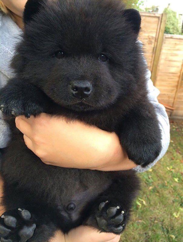 Keeshond Rescue #1. Newfoundland Puppy...