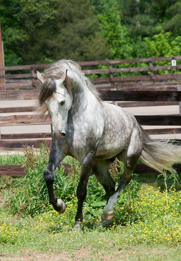 lusitano horses   lusitano-horses-2   Artsy ideas   Horses ...