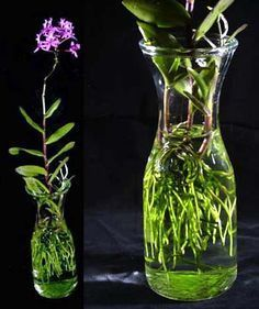 grow orchids in water - Google Search