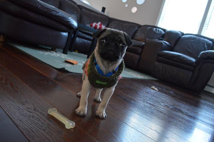 Gus, the pug, loves his new Carlisle Hickory floors