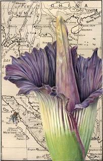 Amorphophallus Titanum / Suweg Raksasa