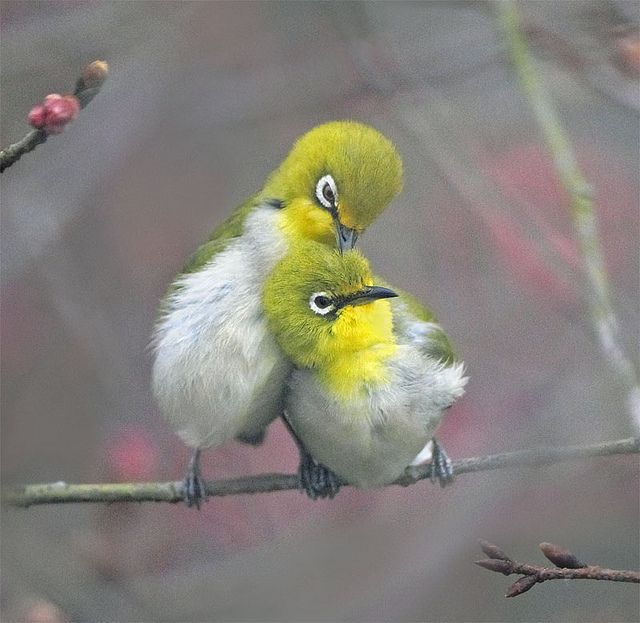 Japanese White eye's are gregarious little olive green, yellow & grey birds with a conspicuous white eye-ring, found in Taiwan