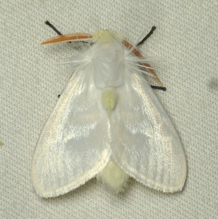 White Flannel Moth, Norape virgo