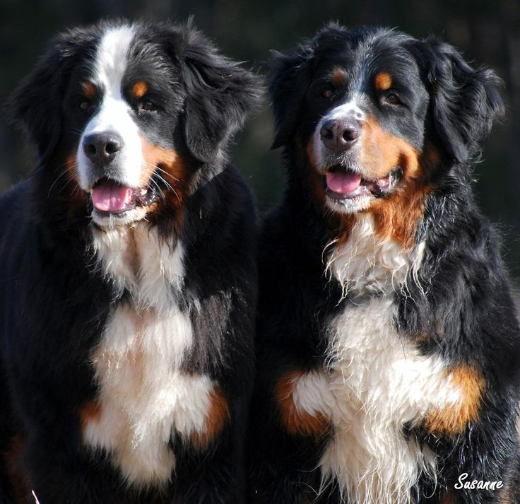 126 best images about Berner sennen on Pinterest ... Berner Sennen Pups