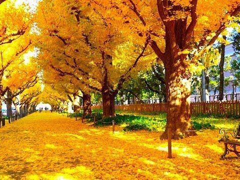 撮影:2012年12月上旬 東京の秋を代表する名所としても有名なのが明治神宮外苑のイチョウ並木。大正12年にイチョウが植えられ、青山通りから続く約300mの黄金のトンネルは壮大かつロマンチックで石造りの絵画館が見え隠れして気分を盛り上げる。146本のイチョウの他にケヤキ196本、トウカエデ159本などベンチに腰をおろしながらのんびり過ごせる。 Gingko Avenue in tokyo. Perhaps the prettiest autumn leaves in the tokyo can be found along Ginkgo Avenue, a street connecting Aoyama Dori to the sports fields of Meiji Jin...