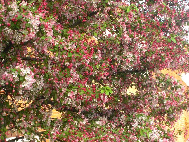 Dit is een appelboom die in bloei staat. Ik heb best veel geluk dat ik deze foto kan nemen. Want hij staat maar een bepaalde periode in bloei.