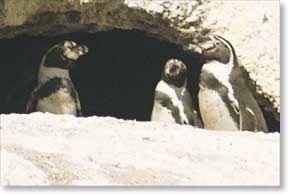 Humboldt Penguin: <i>Spheniscus humboldti</i>