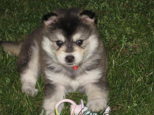 Small Dog Breed Of The Husky Family