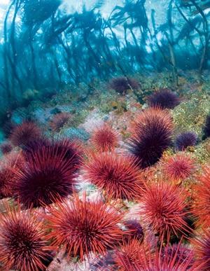 sea urchins... champ de bataille de Bubulle!