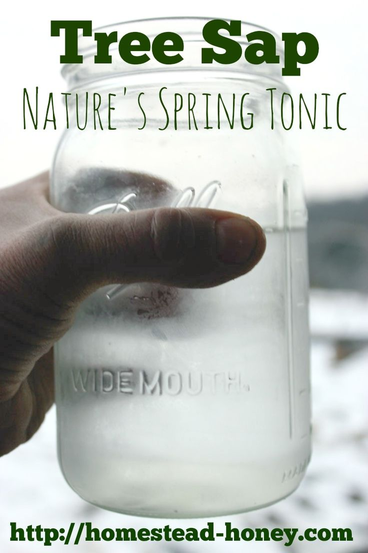 Tree sap is loaded with vitamins and minerals, and many backyard species of trees such as maple, birch and walnut can be tapped for a spring tonic drink.
