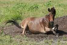 zebra/equine crossbreed