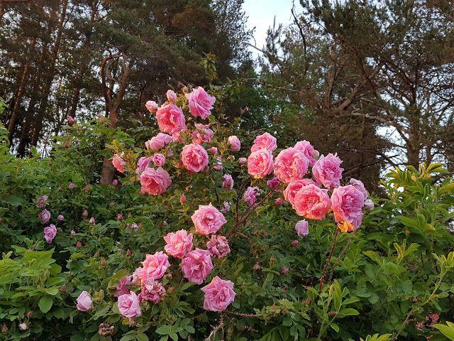 Takalo-Roppolan puutarha- ja mansikkatila: NYT ON TAAS ARVOTTU, RUUSUT RÄVÄHTIVÄT ENNENNÄKEMÄTTÖMÄÄN KUKINTAAN