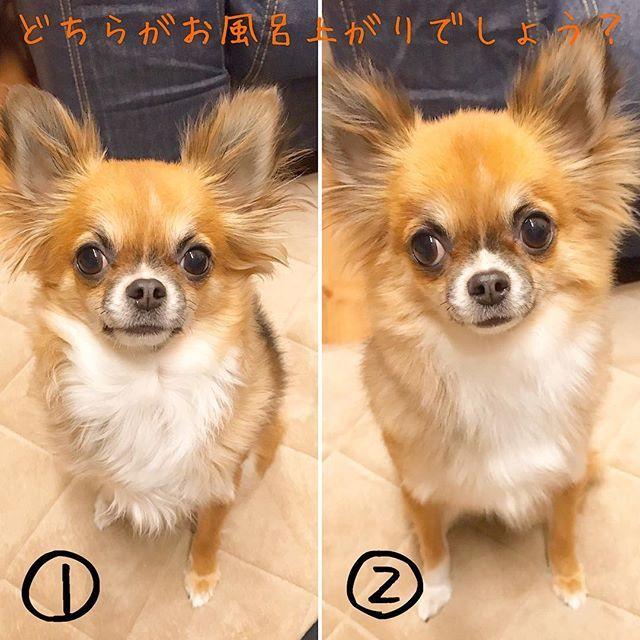 . お風呂上がり🛁. ナゼかあまり変わらない🤔. . . .  #チワワ#ロングコートチワワ#ロンチー#ちわわ#ちわすたぐらむ#ちわわ親バカ#親バカ部#犬バカ部#いぬら部#ちわわ好き#チョコの毎日#ちわわ部#ワンコなしでは生きていけない#犬のいる暮らし#家族#愛犬#かわいい#犬#いぬのきもち#pet#instadog#instagood #お風呂入った#変わんないんだけど