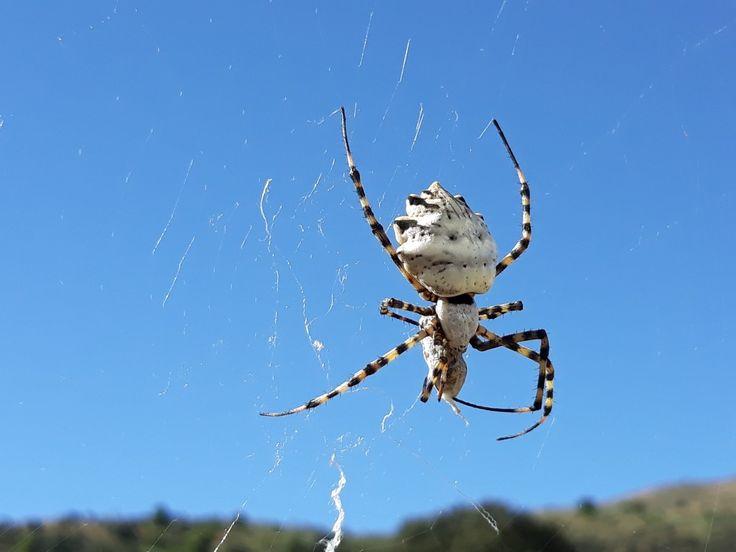 Argiope lobata, south of Spain. Spider/Araña.