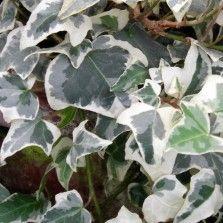 Tanaman Glacier Ivy
