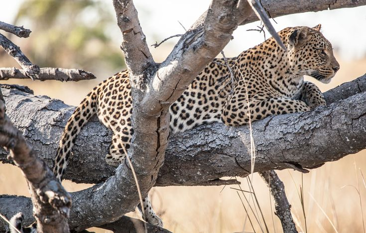Leopard in Botswana | Pom Pom Camp | http://underonebotswanasky.com/camps/pom-pom-camp.php