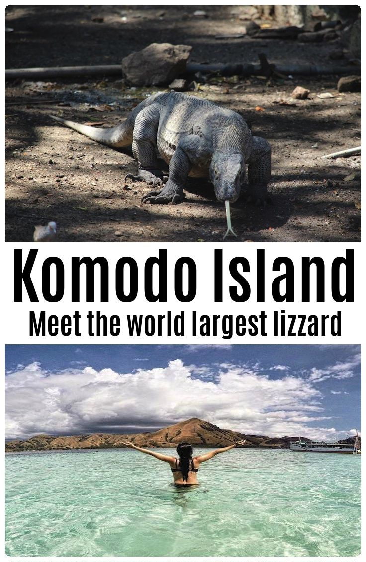Meet the world largest lizard - the Komodo Dragon at Komodo Island - Flores Indonesia.