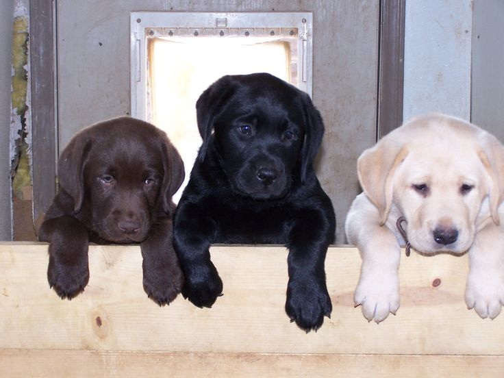 :): Labrador Retriever, Labrador Puppys, Dogs, Yellow Labs, Labs Puppys, Lab Puppies, Chocolates Labs, Black Labs, Animal