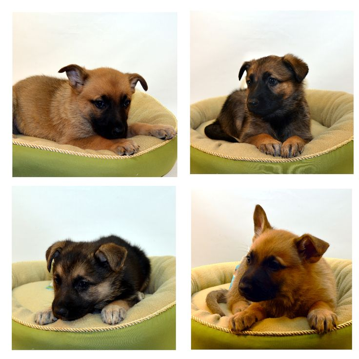 Northwest Seed & Pet has German Shepherd Puppies available at our East Sprague Store. They were born July 19th, 2015, and have had their first shots, been dewormed, and come with a free vet exam.  Follow link for pricing: http://nwseed.com/?p=15667