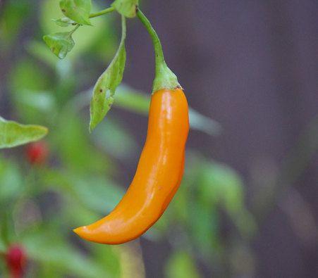 Aji Cito Pepper