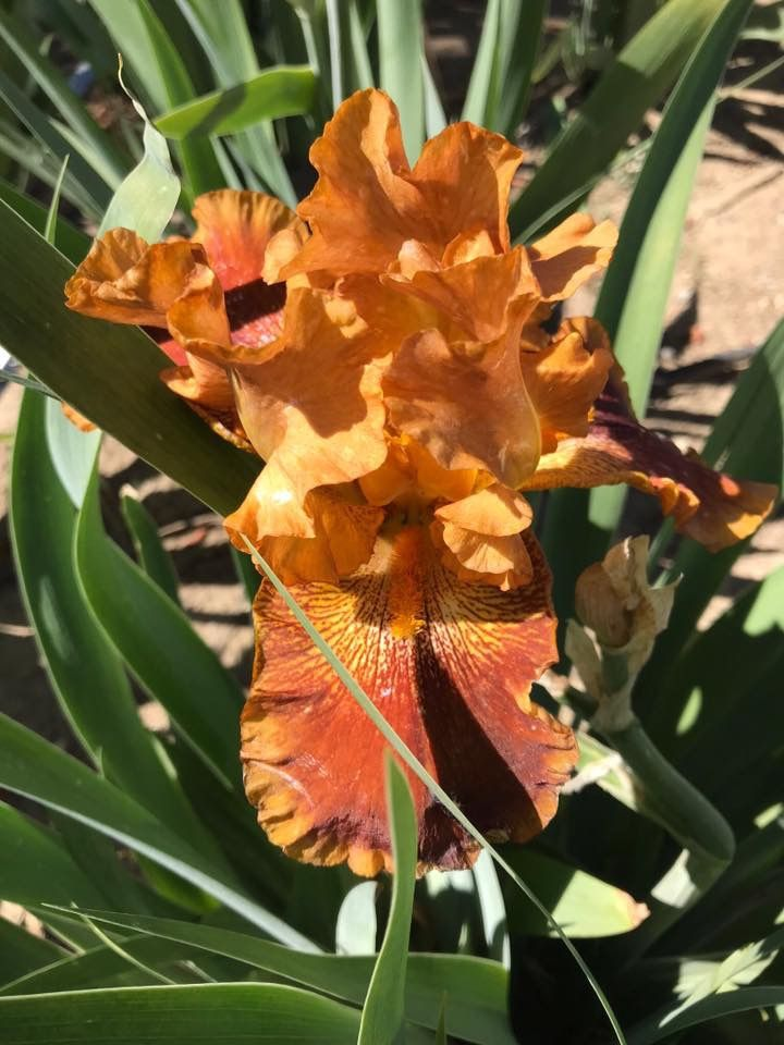 Pin By Jo Baughman On Iris Brown Flowers Plant Leaves Flowers