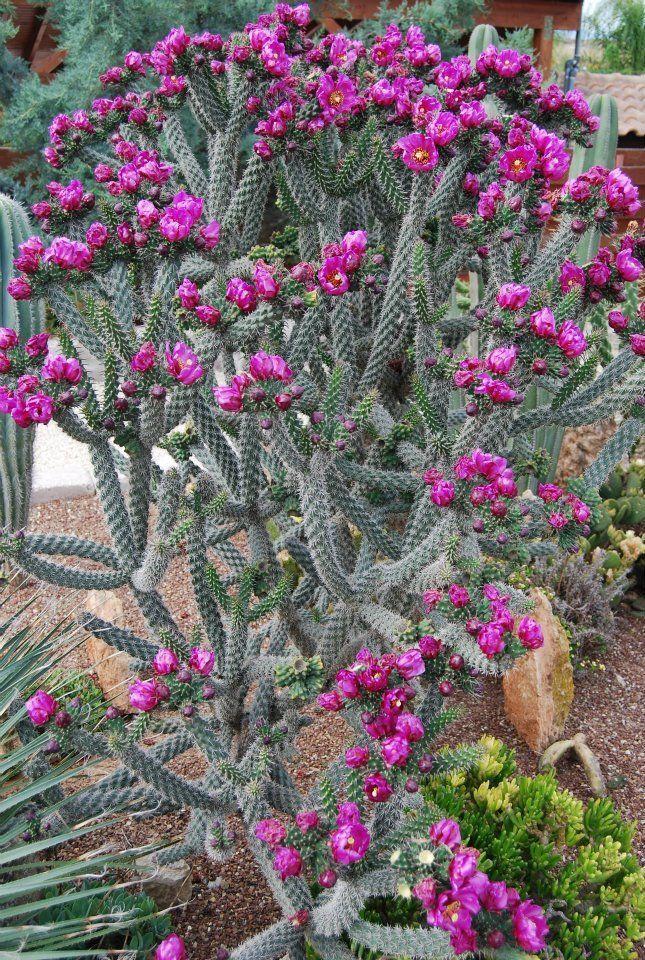 Pin On Cactus Flower