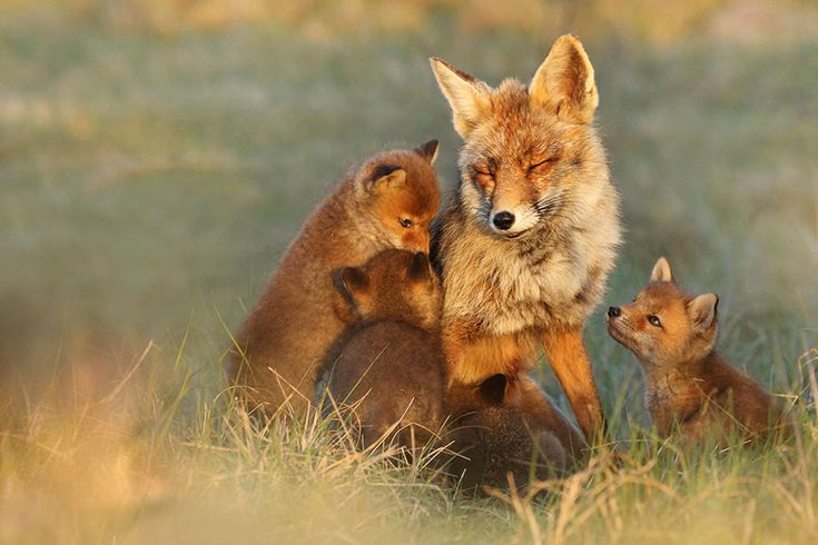 Joke Hulst is a Dutch Photographer who captures the everyday lives of foxes in beautifully intimate photographs.